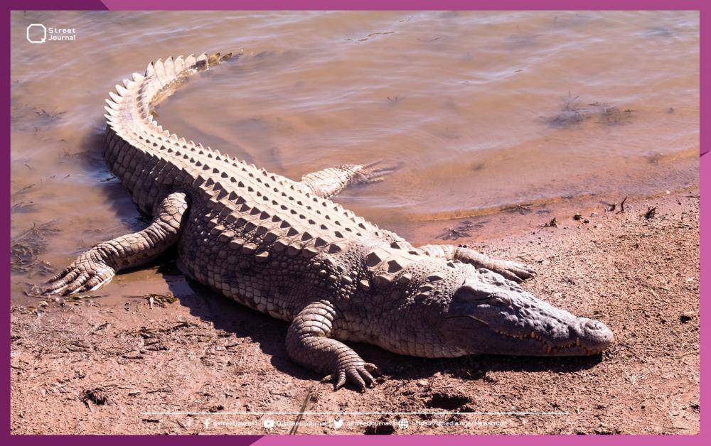 «تمساح النيل» يثير الذعر في قرية مصرية!