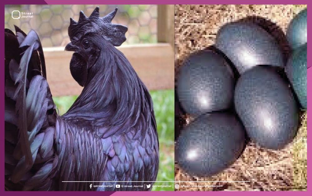 «دجاجة» سوداء اللون والأمعاء بألآف الدولارات!