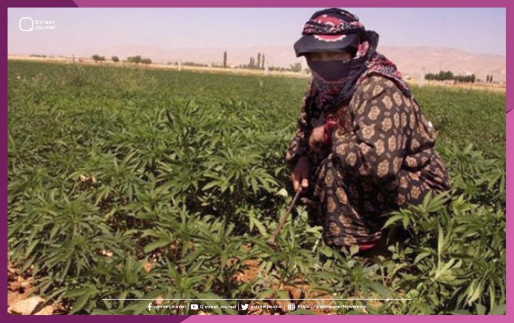 """المغرب يقنن الأنشطة المتعلقة بنبات """"الحشيش"""""""