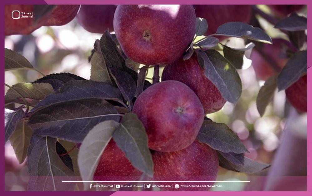 شروط مصرية جديدة تهدد تسويق التفاح السوري
